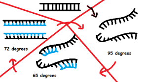 Diagram of Polymerase Chain Reaction - denaturion, annealing, and extension