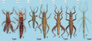 Several species of stick insects - can YOU make a phylogenetic tree from them? (2)